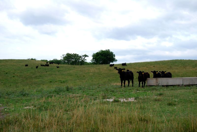 Beef cattle at the Holston Unit